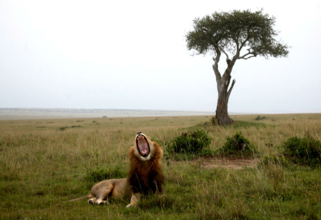 <strong>KONGEN:</strong> Når du står parkert få meter unna majestetiske løvefar, vet du at resten av familien ikke er langt unna.