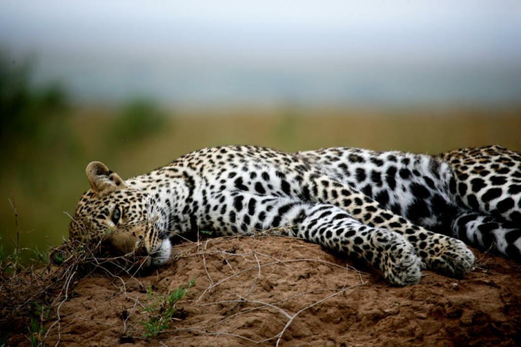 <strong>SJELDENT SYN:</strong> Et av de aller vanskeligste dyrene å få øye på når du drar på safari, er leoparden. Etter noen timers leting fant vi denne unge fyren som hvilte seg på en termitt-tue, varmet opp etter en lang dag i sola. Alle foto: SNORRE BRYNE og NORA BREMNÆS