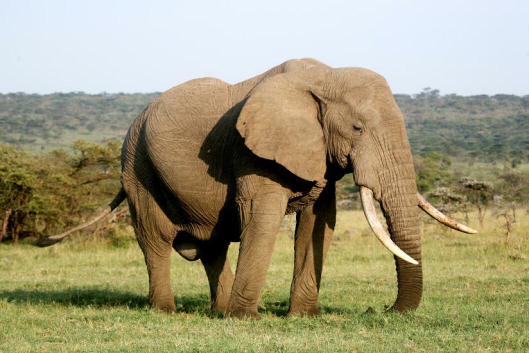 <strong>ELEFANT:</strong> En afrikansk kjempe på savannen.