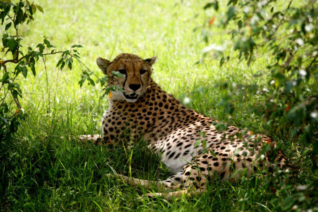 <strong>VERDENS RASKESTE:</strong> En gepard, verdens raskeste landdyr, slapper av i skyggen.