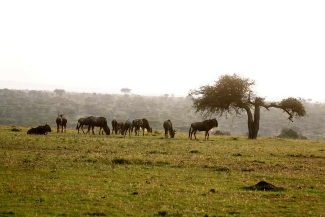 <strong>VANLIG SYN:</strong> Hvert år trekker millioner av dyr nordover til Masai Mara fra Serengeti.