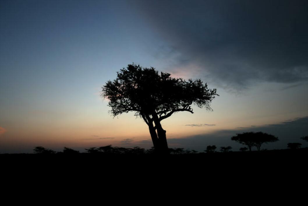 <strong>NATTNATUR:</strong> De vakre akasietrærne pryder savannen, som om natta er full av lyder.