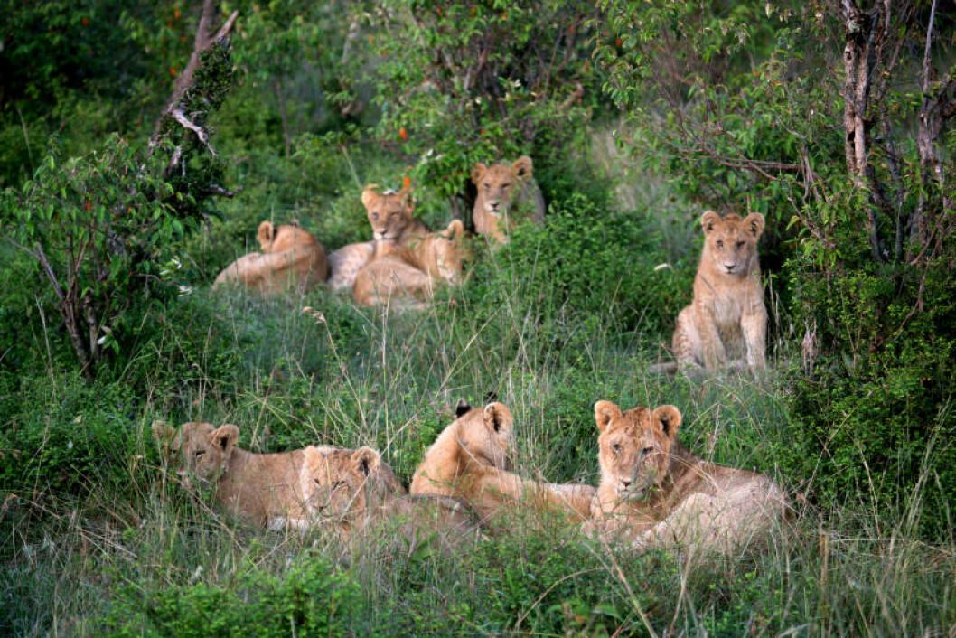 <strong>FAMILIEN:</strong> Resten av løveklanen.