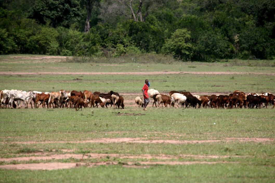 <strong>GJETERE:</strong> Mange masaier vokser opp som gjetere på de store gresslettene. De lærer seg derfor tidlig hvordan man skal oppføre seg i nærheten av potensielt livsfarlige dyr.