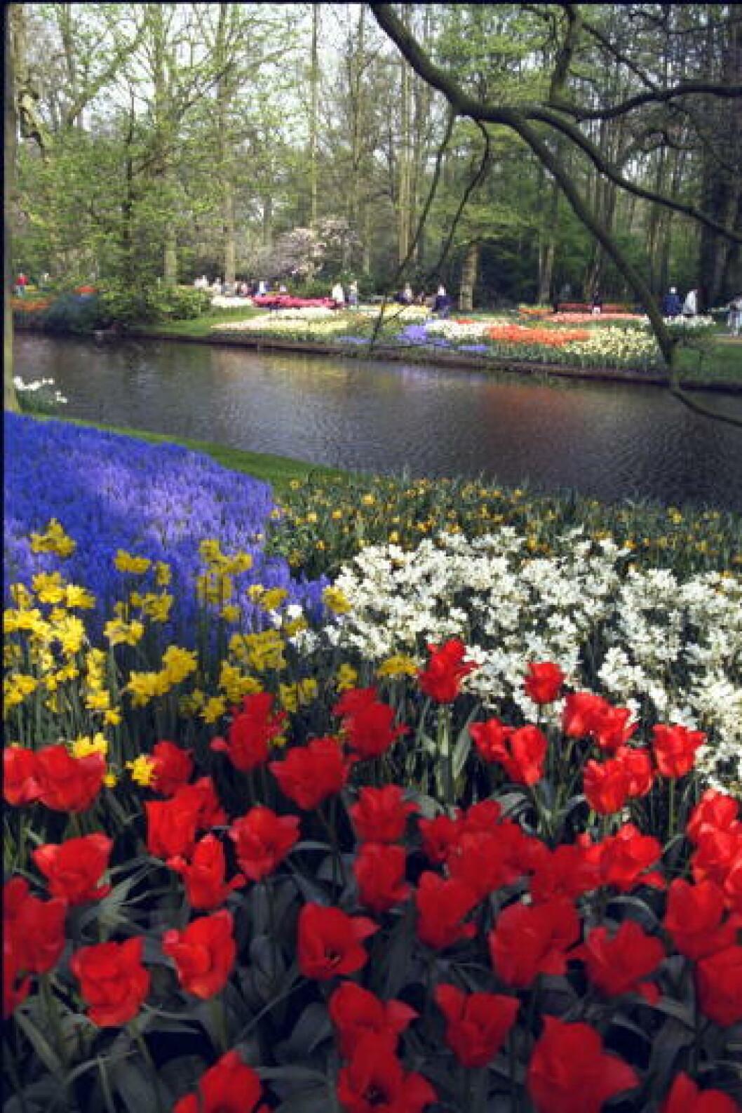 <strong> AMSTERDAM:</strong>  I vårhagen Keukenhof blomster 6 millioner tulipaner i mars. Foto: JEANETTE LANDFALD