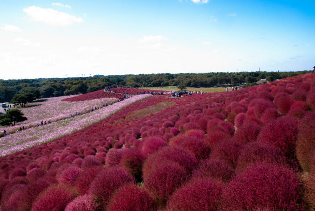 <strong>JAPAN:</strong>  Hitachi Seaside Park i Hitachinaka i full vårblomstring. Foto: SINN/FLICKR
