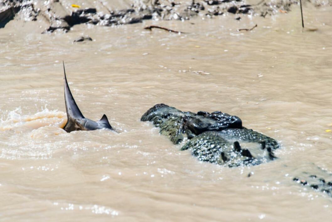 <strong>GÅR TIL ANGREP:</strong> Den fem og en halv meter-lange krokodillen Brutus er beryktet Northern Territory i Australia. Han mangler både tenner og en fot, men turte likevel å gå til angrep på denne haien - rett foran øynene på familien fra Sydney. Foto: Andrew Paice/Getty Images