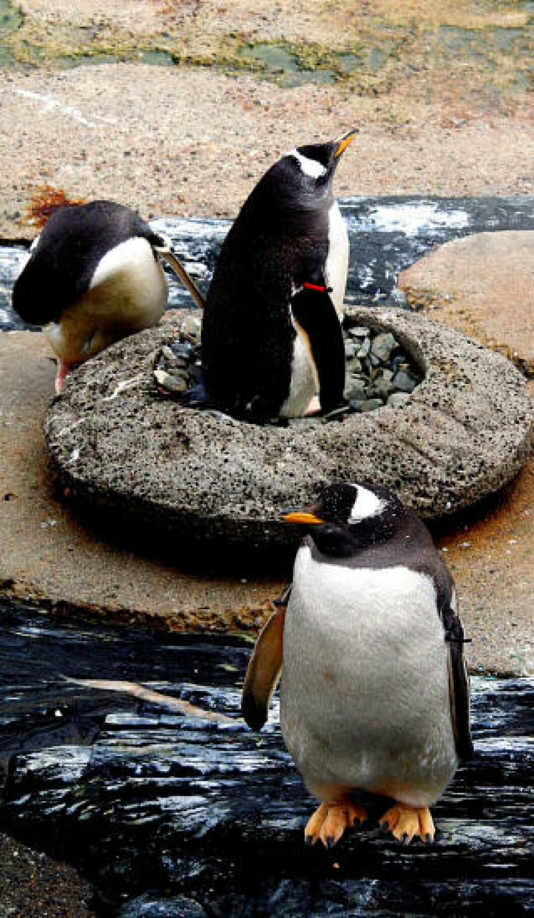 <strong>AKVARIET I BERGEN:</strong> Bøylepingvinene er et sjarmerende bekjenskap i Norges største akvarium som også frister med haitunnel, sjøløveshow med plask og sprut, nye apeunger og en nyfødt selunge. Foto: KIRSTEN M. BUZZI