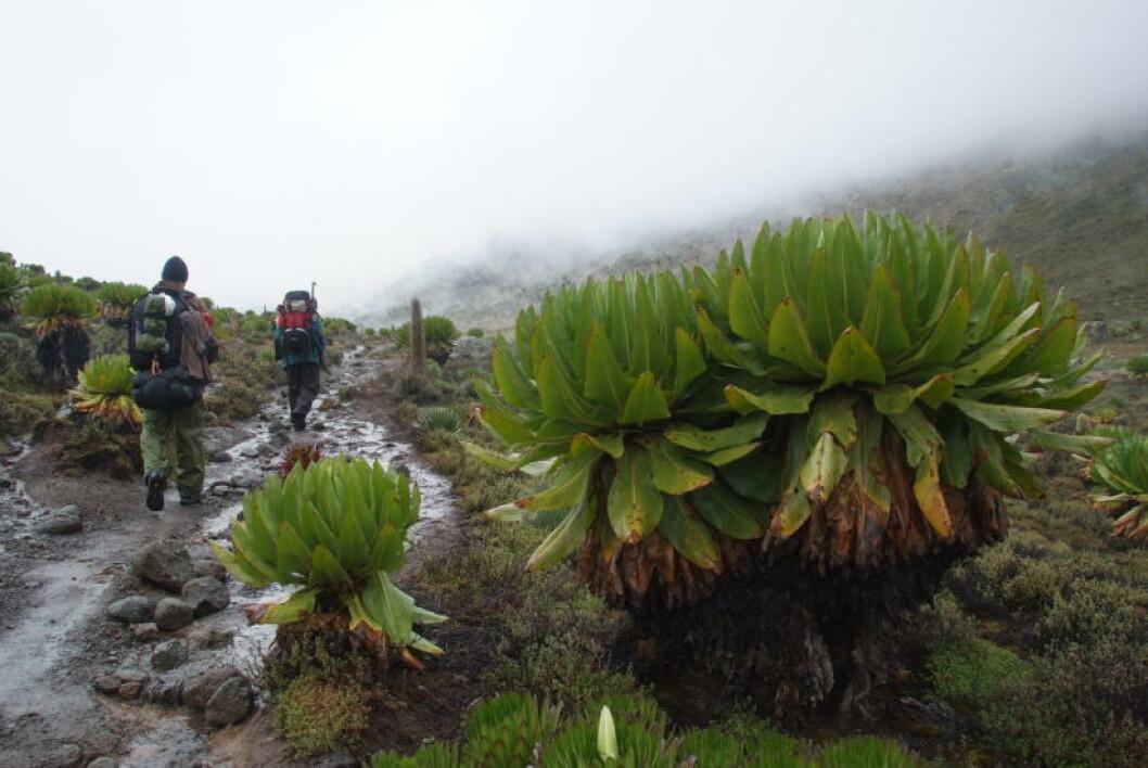 <strong>SLEIPT FØRE:</strong> Å bestige Mt. Kenya i august, er i den såkalt tørreste perioden. Men uansett tid må du regne med nedbør, som vil si vått underveis og snø på toppen. Foto: TORILD MOLAND