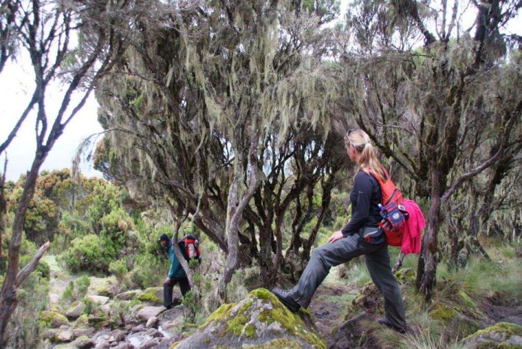 <strong>SNART I MÅL:</strong>  Mosegrodde trær vitner om at vi snart er nede - endelig. Foto: RONNY FRIMANN