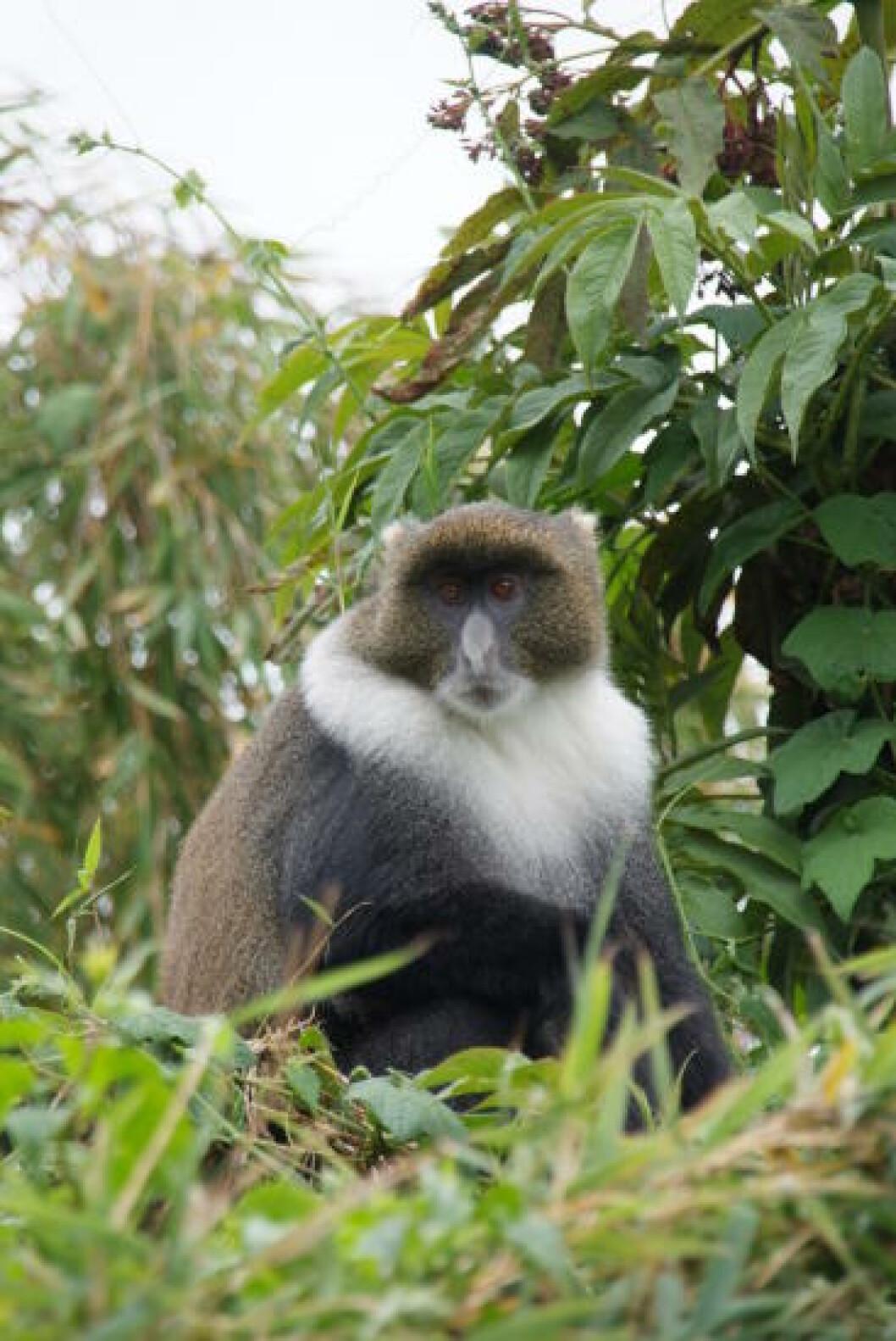<strong>SELSKAP:</strong> Dyrelivet rundt Mt. Kenya er rikt, med både leoparder og aper. Foto: RONNY FRIMANN