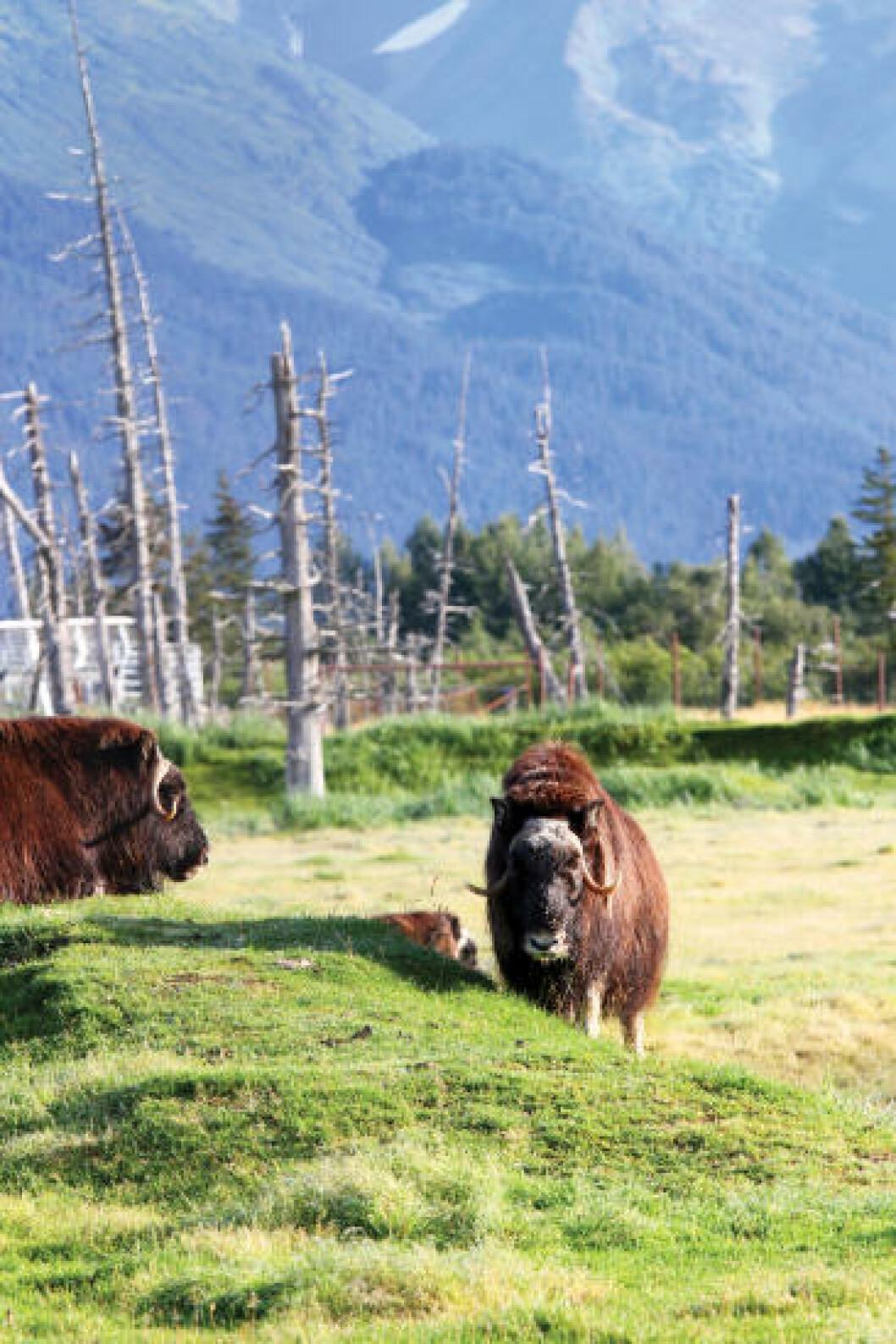 <strong>DYRELIV:</strong> Moskusokse i The Alaska Wildlife Conservation Center utenfor Anchorage. Foto: RUNAR LARSEN