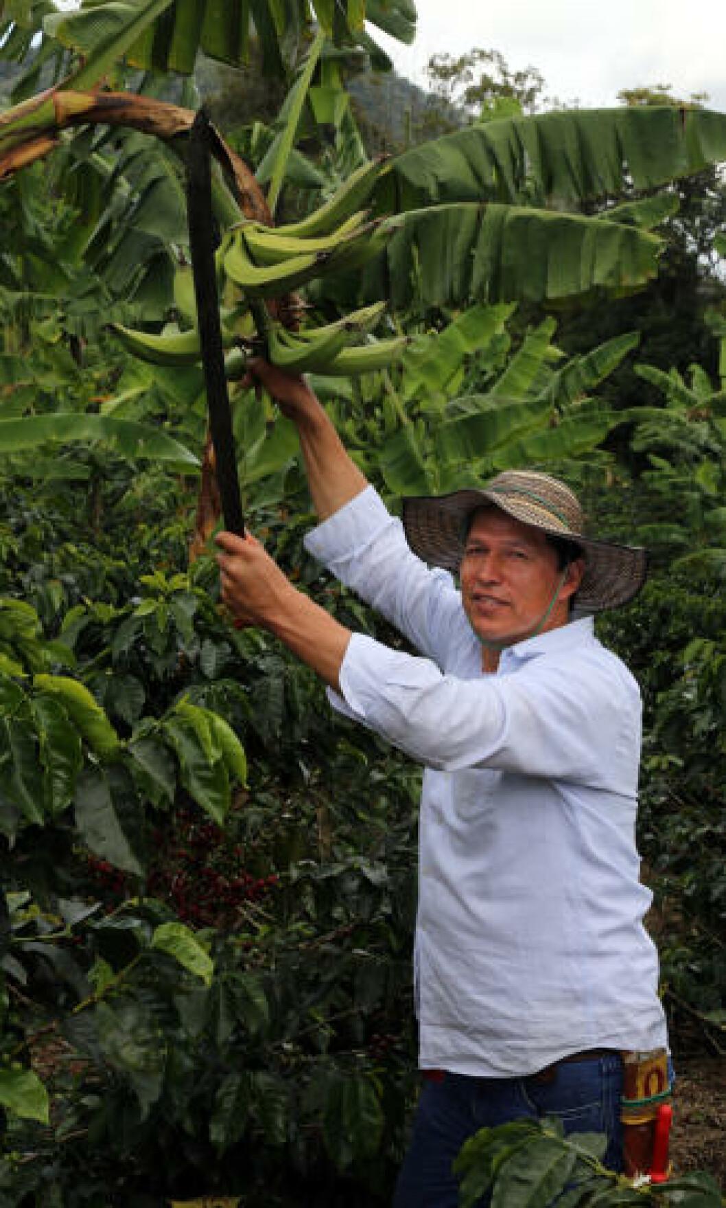 <strong>BANANER:</strong> Kaffebonden Jairo Perez Nanez (50) har også noen banantrær på plantasjen. Foto: EIVIND PEDERSEN