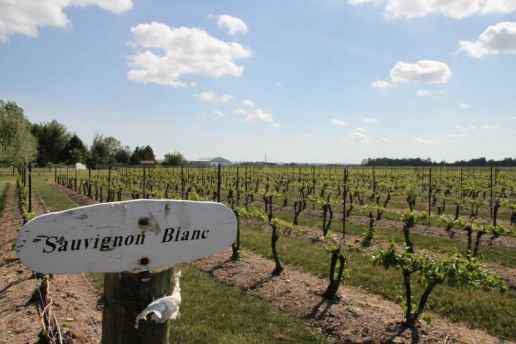 <strong>VINMEKKA:</strong> Kanadierne kan også lage vin. Bruk gjerne en ettermiddag på å smake deg gjennom de ulike vingårdene i distriktet. Foto: SOLVEIG BÅDSVIK